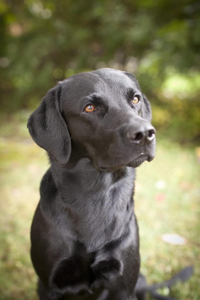 Fina Labradoren Morrison