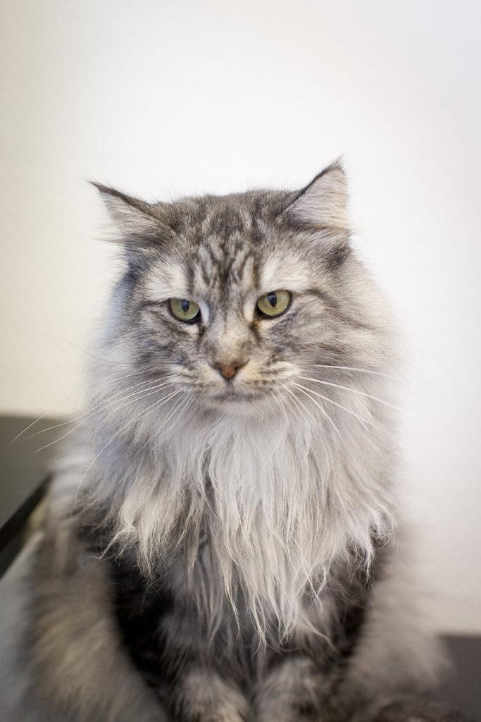 Babsan sibirisk katt
